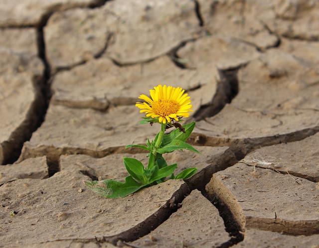 květina na poušti